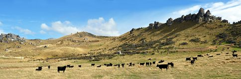 Castle Hill Cattle Farming Panorama, Canterbury, New Zealand royalty free stock photos