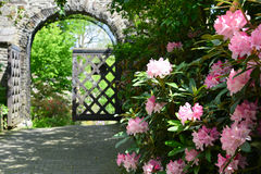 Castle rhododendron. Blossoms of flourishing pink colored rhododendron Azalea inside of the garden of a castle in Siegen,Germany Stock Image