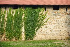 Castle wall with ivy Stock Image