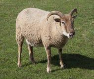 Castlemilk Moorit Sheep Stock Image