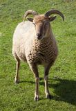Castlemilk Moorit Sheep Royalty Free Stock Photos
