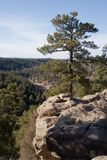Castlewood canyon 3. A tall pine tree perches precariously on the edge of a cliff overlooking Castlewood Canyon in cantral Colorado Royalty Free Stock Image