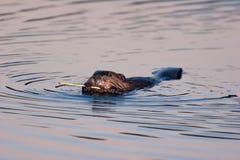 Castor américain sauvage mangeant l'écorce au crépuscule Photos stock