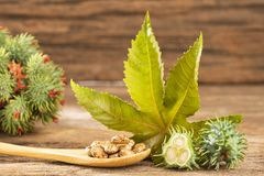 Castor bean plants - Ricinus communis. Green castor seeds - Ricinus communis royalty free stock image