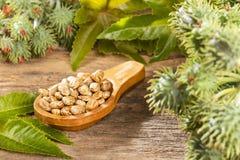 Castor bean plants - Ricinus communis. Green castor seeds - Ricinus communis stock photography