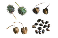 Castor bean propagation cycle Royalty Free Stock Image