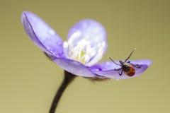 The castor bean tick (Ixodes ricinus) Royalty Free Stock Image