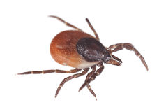 Castor bean tick, Ixodes ricinus isolated on white background. The castor bean tick, Ixodes ricinus is an animal of the Ixodidae family. It is a carrier of royalty free stock photo