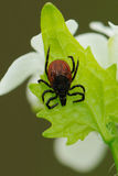 Castor bean tick, Ixodes ricinus, waiting for a host Stock Photos