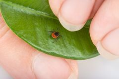 Castor bean tick on a shiny green leaf in human hand. Ixodes ricinus royalty free stock photo