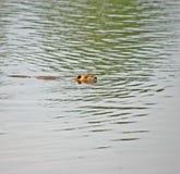 Castor da natação Imagens de Stock Royalty Free