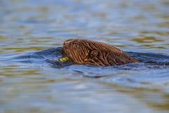Castor da natação fotografia de stock royalty free