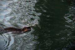 Castor dans l'eau Photo stock