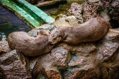 Castor en el parque zoológico, Myanmar Fotografía de archivo