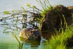 Castor en el río fotos de archivo