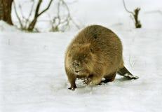 Castor européen (fibre de chasse) Photo stock