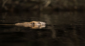 Castor europeu, fibra do rodízio, nadando na água preta fotografia de stock royalty free