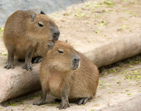 Castor europeu ou castor do Eurasian (fibra do rodízio) Fotografia de Stock Royalty Free