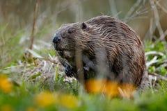 Castor europeu selvagem no habitat bonito da natureza em República Checa fotos de stock royalty free