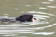 Castor fiber, Eurasian beaver. Stock Image