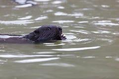 Castor fiber, Eurasian beaver. Royalty Free Stock Image