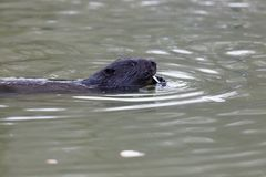 Castor fiber, Eurasian beaver. Stock Photography