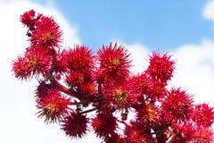 Castor flowers in the sky Stock Image