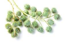 Castor fruit Stock Image