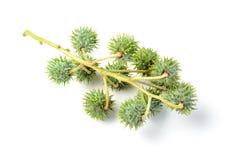 Castor fruit Royalty Free Stock Image