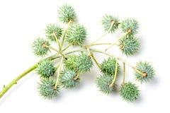 Castor fruit Stock Images