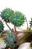 Castor fruits. Castor plant fruits isolated on white background Royalty Free Stock Photo