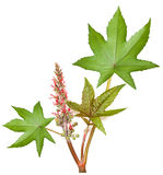 Castor. Leaf with flowers and seeds stock images