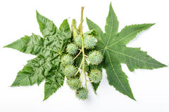 Castor leaves and fruit Stock Photography