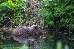 Castor na água no rio Fotos de Stock Royalty Free