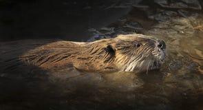 Castor norte-americano na água Imagem de Stock Royalty Free