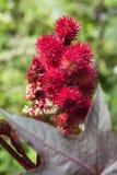 Castor oil. Flowering castor oil for medical use royalty free stock photos