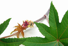 Castor oil plant Royalty Free Stock Photos