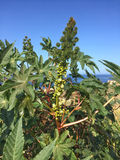 Castor-oil plant with bolls. At the ocea in Tenerife Stock Photos