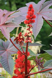 Castor oil plant Stock Photography