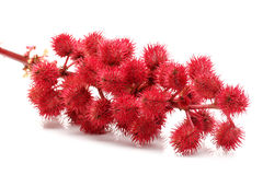Castor-oil plant flowers Stock Photos