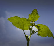 Castrol oil plant leaf Stock Image