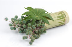 Castor oil plant. Natural ingredients stock photo