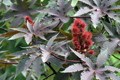 Castor oil plant, raw material of biodiesel Royalty Free Stock Photo