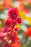 Castor-oil plant Royalty Free Stock Photos