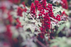 Castor oil plant with red prickly fruits and colorful leaves Royalty Free Stock Photography