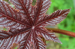 Castor oil plant. Stock Photography