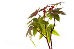 Castor oil plant, Ricinus communis, medical plant. Isolated on white background royalty free stock photography