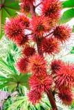 Castor oil plant Ricinus. Medical plant Ricinus arborescens communis stock photo