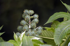 Castor oil plant Royalty Free Stock Photography