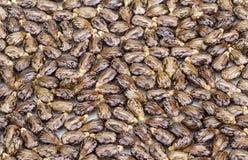 Castor oil seeds-ricinus communis Royalty Free Stock Images